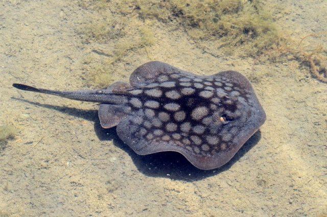 Gambar Ikan Hias Air Laut Round stingray