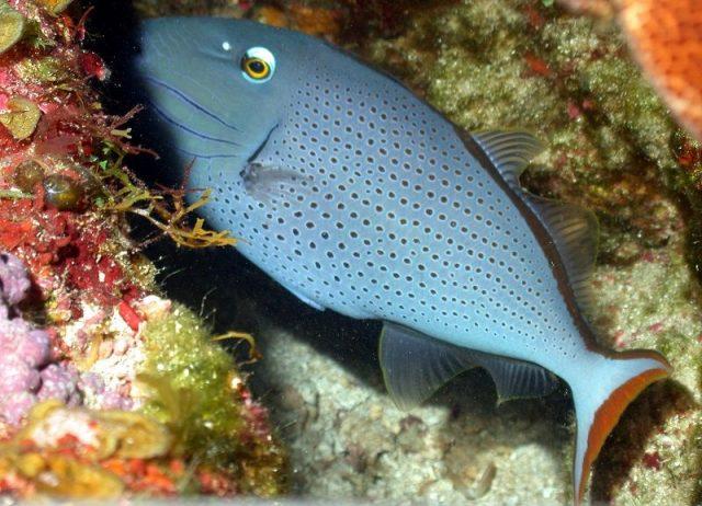 Gambar Ikan Hias Air Laut Sargassum trigger