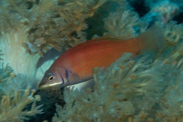 Gambar Ikan Hias Air Laut Scarlet pin stripe wrasse