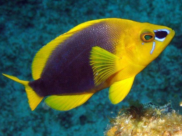Gambar Ikan Hias Air Laut Shy hamlet