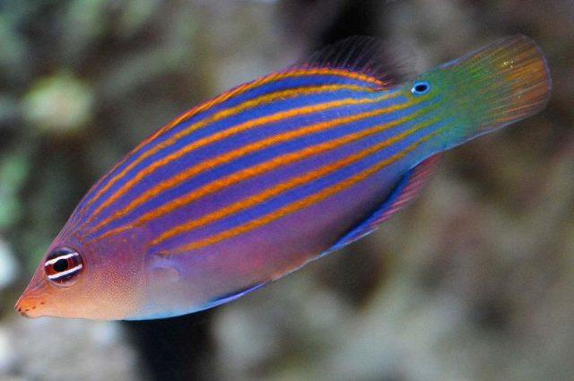 Gambar Ikan Hias Air Laut Six line wrasse