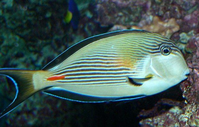 Gambar Ikan Hias Air Laut Sohal tang