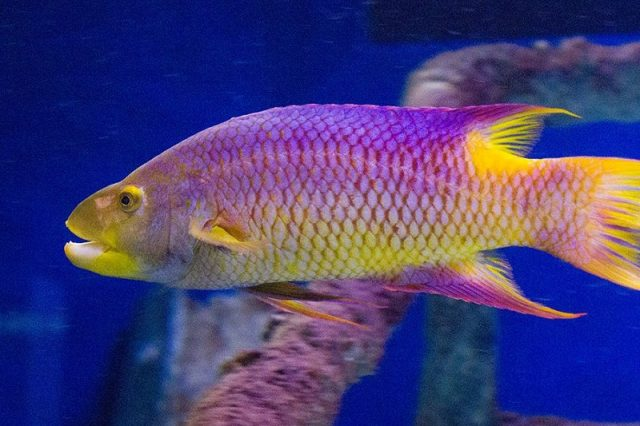 Gambar Ikan Hias Air Laut Spanish hogfish