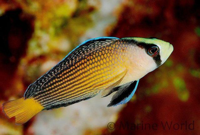Gambar Ikan Hias Air Laut Splendid pseudochromis
