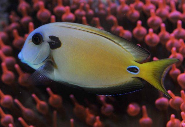 Gambar Ikan Hias Air Laut Tennent tang