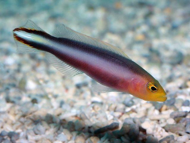 Gambar Ikan Hias Air Laut Twolined dottyback