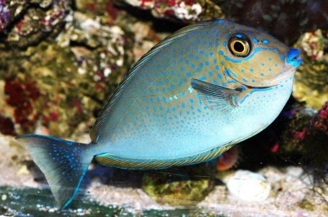 Gambar Ikan Hias Air Laut Vlamingi tang