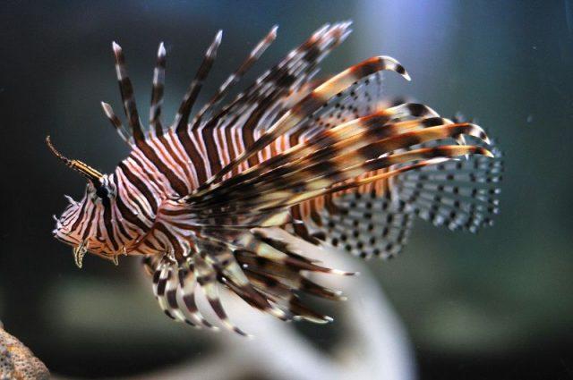 Gambar Ikan Hias Air Laut Volitan lionfish