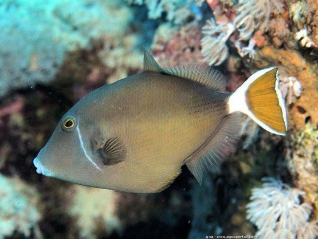 Gambar Ikan Hias Air Laut Whitetail trigger