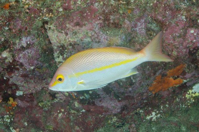 Gambar Ikan Hias Air Laut Yellow-Banded Snapper, Hussar Emperor Snapper