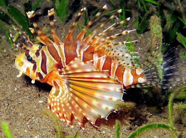 Gambar Ikan Hias Air Laut Zebra lionfish