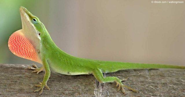 Gambar Green Anole ( Anolis carolinensis ) Jenis Kadal Yang Bisa Dipelihara