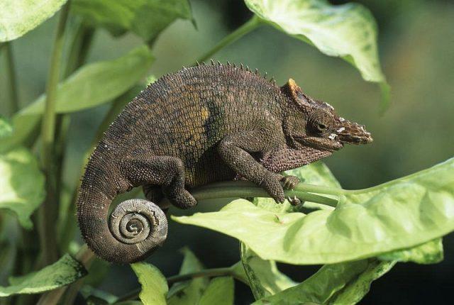 Gambar Kadal Fischer's Chameleon Jenis Kadal Yang Bisa Dipelihara