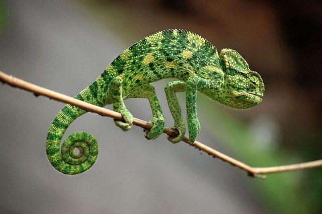 Gambar Kadal Indian Chameleon Jenis Kadal Yang Bisa Dipelihara