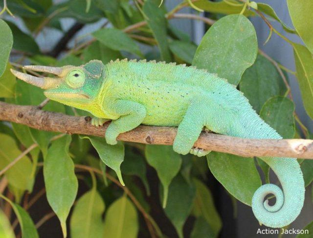 Gambar Kadal Jackson's Chameleon Jenis Kadal Yang Bisa Dipelihara