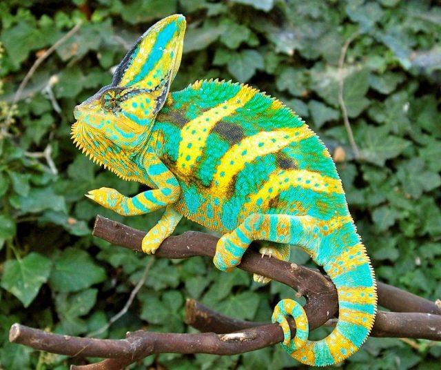 Gambar Kadal Veiled Chameleon Jenis Kadal Yang Bisa Dipelihara