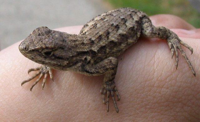 Gambar Kadal Western Fence Lizard Jenis Kadal Yang Bisa Dipelihara