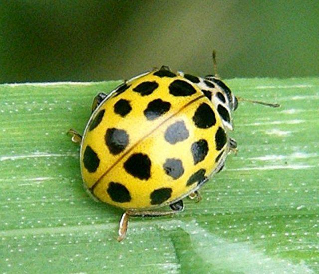 Gambar Ladybird Nama Hewan Dari Huruf L