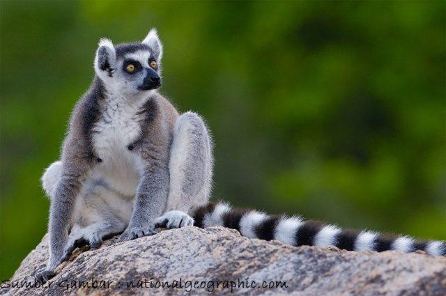 Lemur Nama Hewan Dari Huruf L