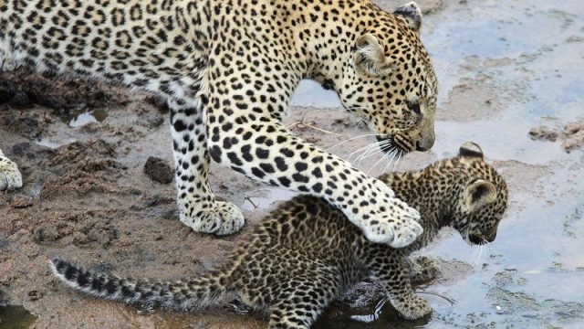 Leopard Nama Hewan Dari Huruf L
