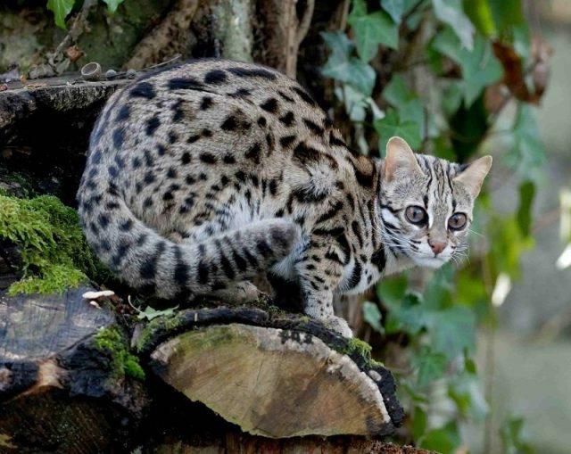 Gambar Leopard Cat Nama Hewan Dari Huruf L