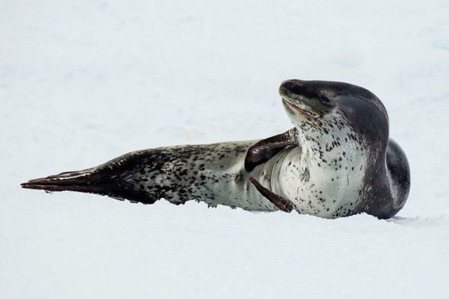 Gambar Leopard Seal Nama Hewan Dari Huruf L