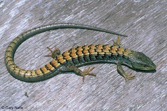 Gambar Lizard Nama Hewan Dari Huruf L