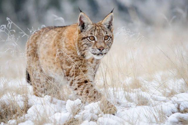 Gambar Lynx Nama Hewan Dari Huruf L