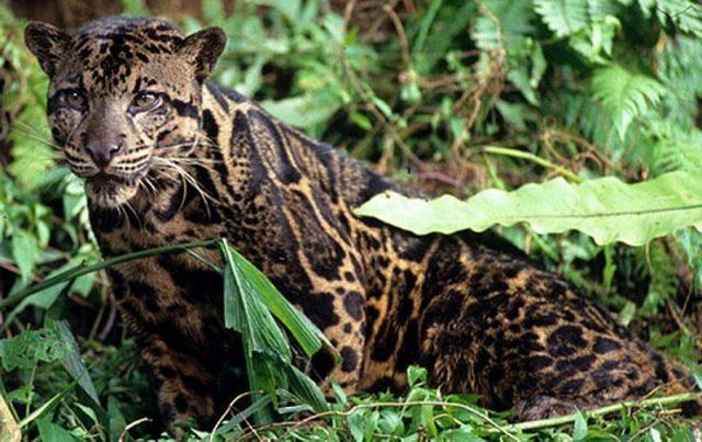 Gambar Macan dahan kalimantan Dan 10 Hewan Langka Di Kalimantan