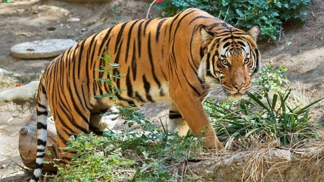 Gambar Nama Hewan Awalan Huruf M Malayan Tiger
