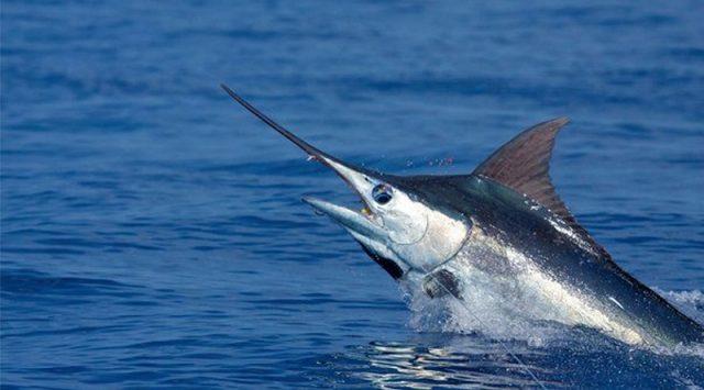 Gambar Nama Hewan Awalan Huruf M Marlin