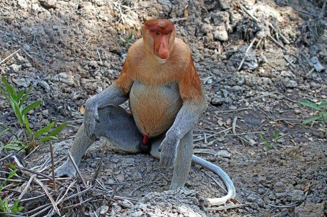 Gambar Monyet Hidung Panjang Dan 10 Hewan Langka Di Kalimantan