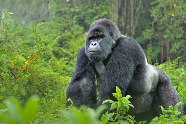 Gambar Nama Hewan Awalan Huruf M Mountain Gorilla