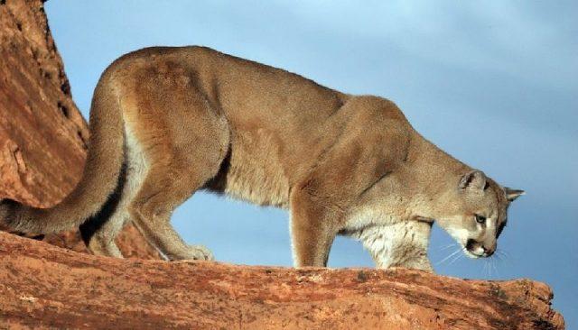 Gambar Nama Hewan Awalan Huruf M Mountain Lion