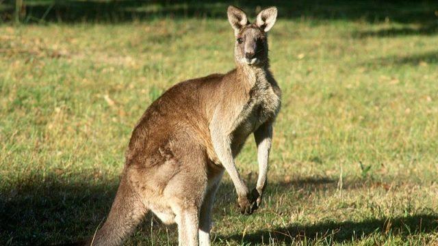 Gambar Nama Hewan Dari Huruf K - Kangaroo