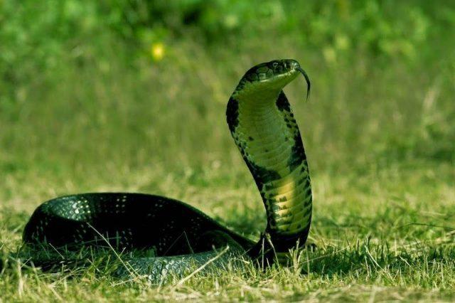 Gambar Nama Hewan Dari Huruf K - Kobra