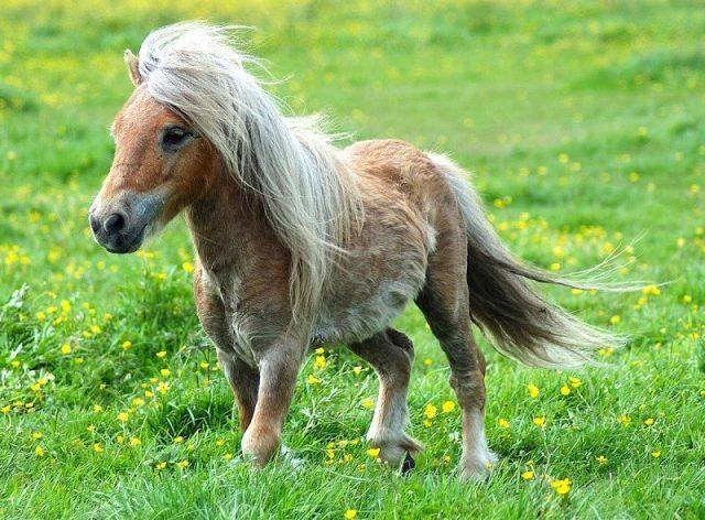 Gambar Nama Hewan Dari Huruf K - Kuda poni
