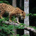 Gambar Nama Nama Hewan Dari Huruf J - Jaguar