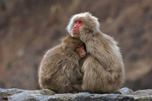 Gambar Nama Nama Hewan Dari Huruf J - Japanese Macaque