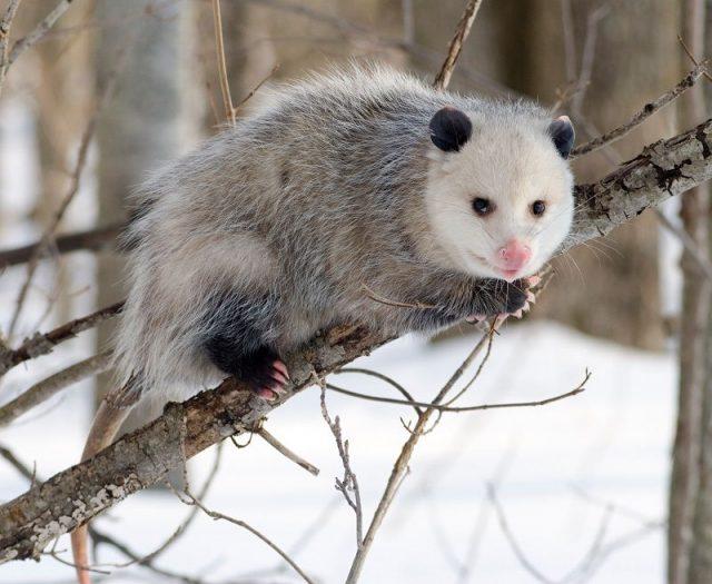 Gambar Opossum Nama Hewan Dari Huruf O