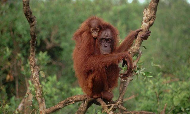 Gambar Orangutan Dan 10 Hewan Langka Di Kalimantan