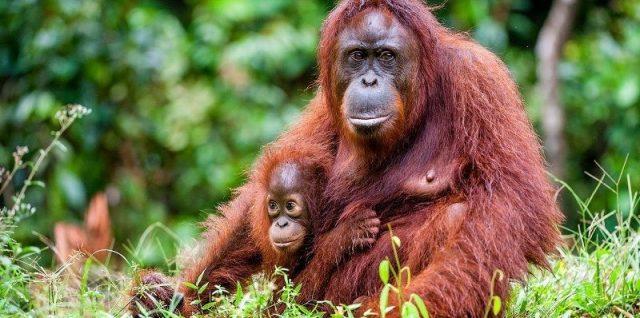 Gambar Orangutan Nama Hewan Dari Huruf O