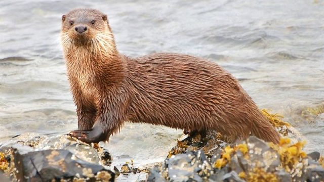 Gambar Otter Nama Hewan Dari Huruf O
