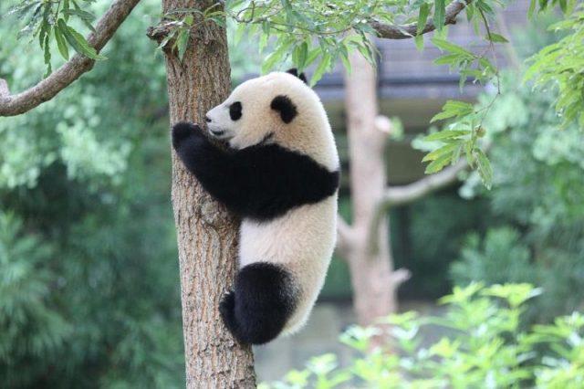Gambar Nama Hewan Dari Huruf P Panda