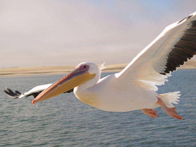 Gambar Nama Hewan Dari Huruf P Pelican
