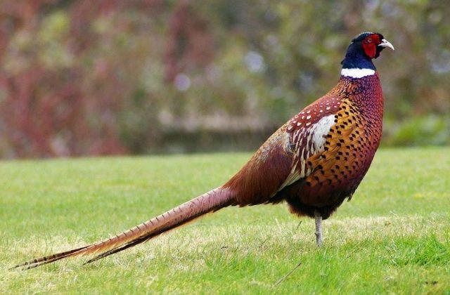 Gambar Nama Hewan Dari Huruf P Pheasant