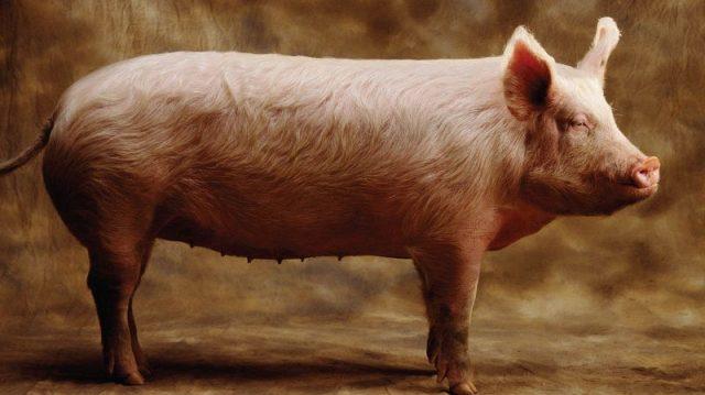 Gambar Nama Hewan Dari Huruf P Pig