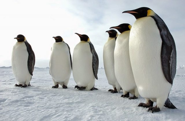 Gambar Nama Hewan Dari Huruf P Pinguin