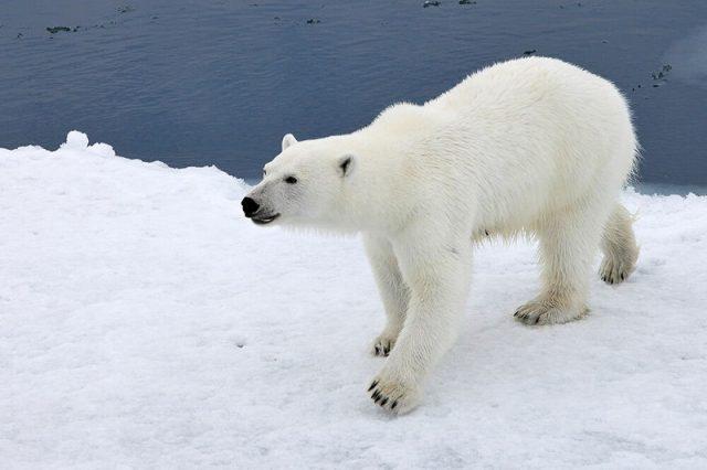 Gambar Nama Hewan Dari Huruf P Polar Bear