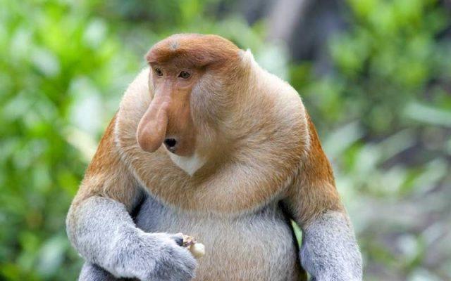 Gambar Nama Hewan Dari Huruf P Proboscis Monkey